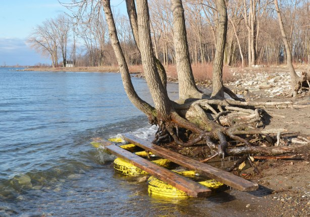 three yellow tires attached to lumber have washed up on the shore and gotten caught in the roots of a shoreline tree, Cherry Beach, Lake Ontario.