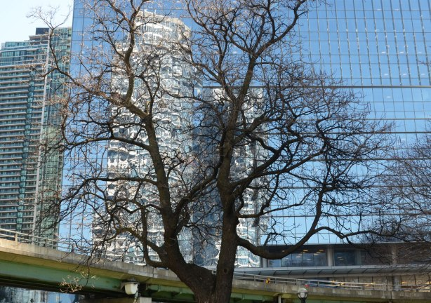 A large mature tree with no leaves, early spring, grows in front of a large glass building that has a reflection of another large building its windows.