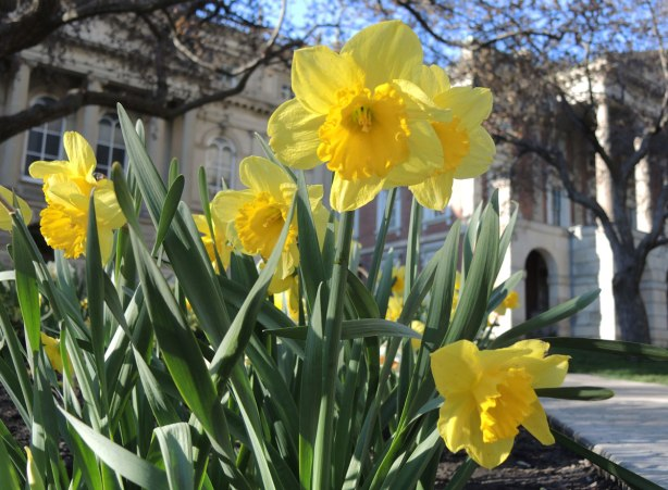 A group of bright yellow daffodils in the sunshine in full bloom with the front of Osgoode Hall on a warm sunny spring day. Blue sky.