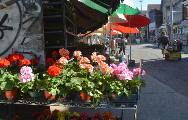 A rack of geraniums in bloom for sale sitting outside a store. The sidewalk by the store is shaded with white, green and red umbrellas.
