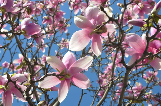 looking upwards from below the branches of a magnolia tree in full bloom. Lots of pink and white flowers, no leaves, on the tree. Bright blue sky in the background. A sunny spring day.