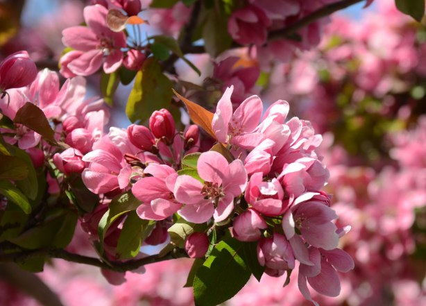 many pink blossoms on the branch of a tree