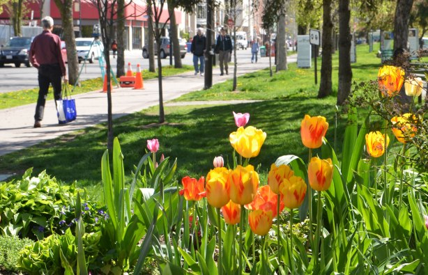 tulips in a garden in a park, orange and yellow tulips, with some greenery. Grassy area with trees behind, and people walking on a sidewalk in the background.