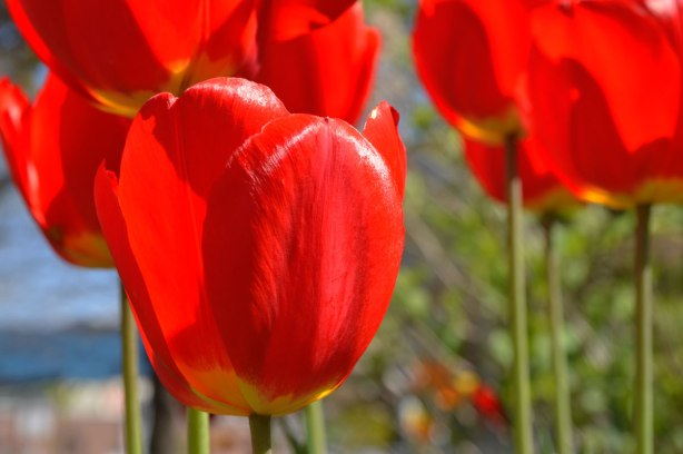 close up photo of red tulips in full bloom on a sunny day