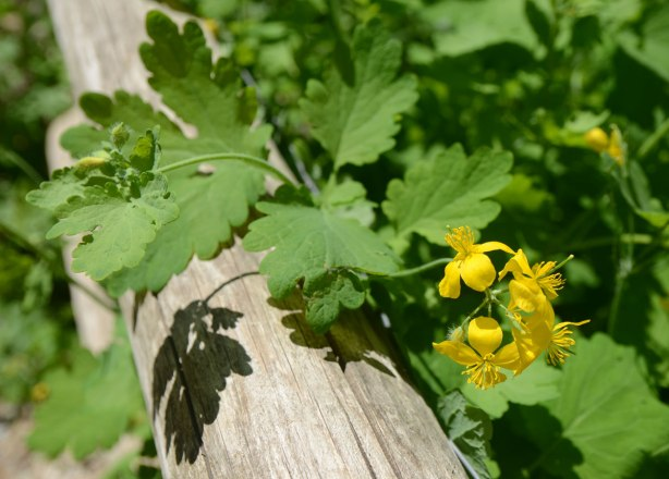 yellow flowers in bloom in the ravine, against a railing post, with shadows cast on the wood, large green leaves