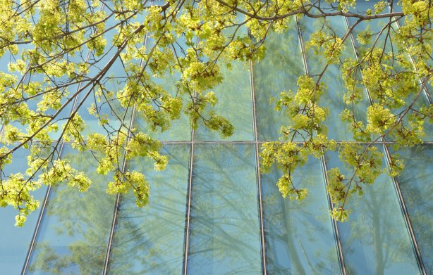 Budding leaves - The light yellowish green new spring growth on a tree that is growing beside a greenish blue tinted window. Some tree reflections in the window too.