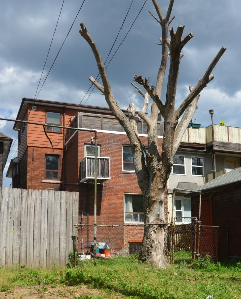 a big dead tree with the tops of the branches cut off, in a backyard, view from the lane behind, including the three storey building on the property