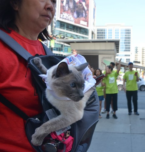 A woman is carrying a cat in what looks like a baby carrier on her chest. It is a Siamese cat