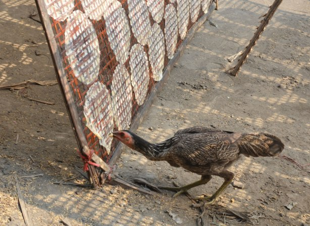 a chicken pecks at a metal frame on which rice wrappers are drying