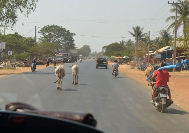 two white cows on the road in front of a vehicle, also motorcycles