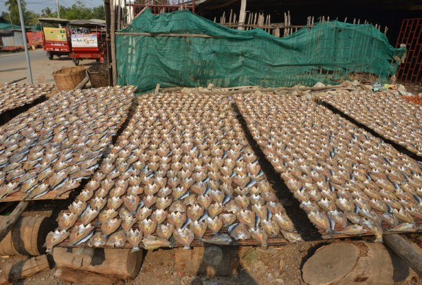Hundreds of fish, heads removed and fileted, drying in the sun