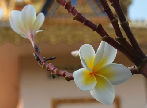 Frangipani flower in bloom
