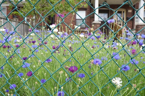 a frontyard full of small purple, blue and white flowers, all behind a chainlink fence