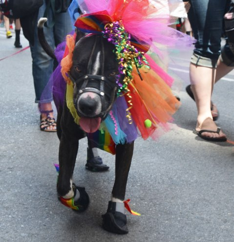 black dog all dressed up for pride, walking in a dyke march