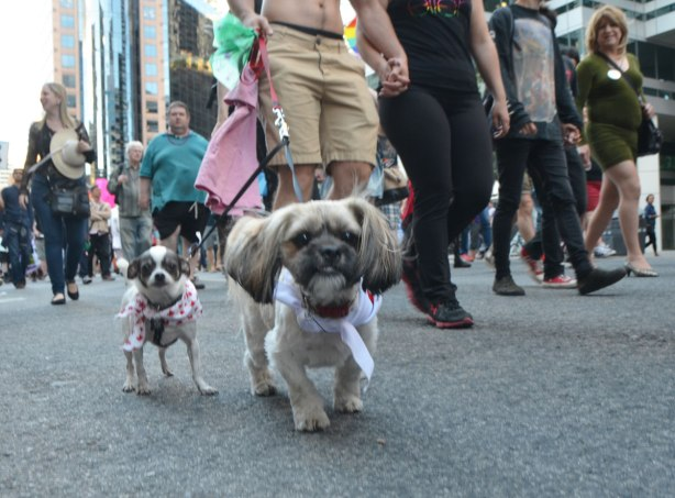 two small dogs on leashes, walking in a parade