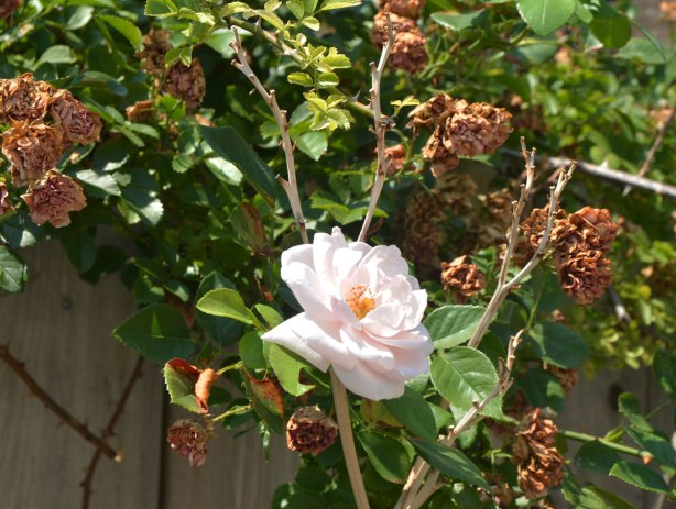 one white rose growing against a fence in an alley , with lots of dead roses around it.
