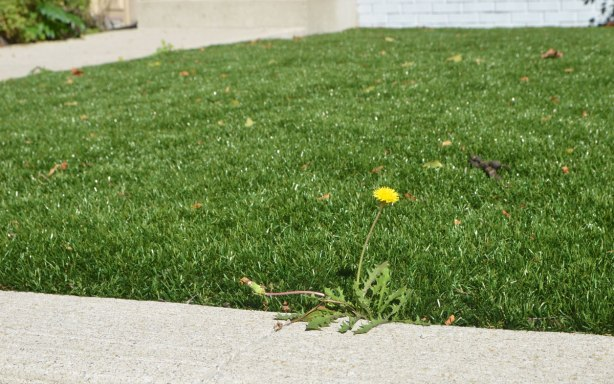 a single dandelion grows in a lawn of astroturf (fake grass) where it meets the concrete sidewalk