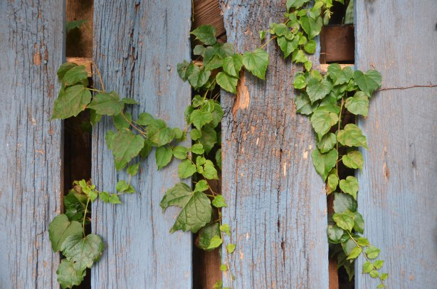 green ivy leaves poke their way through the gaps in a blue weathered wooden fence