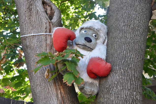 a large stuffed gorilla sits in the V formed by a tree trunk and a large branch of a tree, gorilla is wearing red boxing gloves.