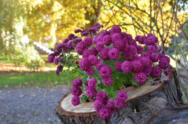 a pot of purple flowers with a yellow tree in the background