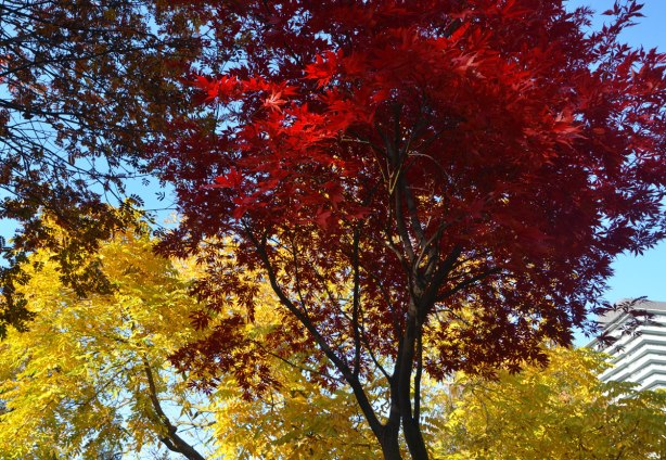 trees in autumn, red leaves and yellow leaves