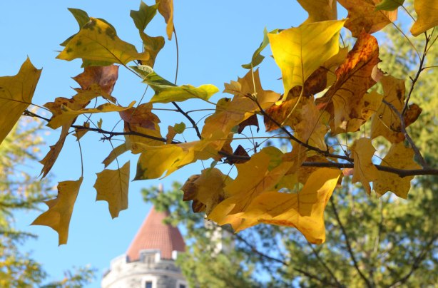a branch of yellow leaves, autumn tree with blue sky and the turret of Casa Loma in the background