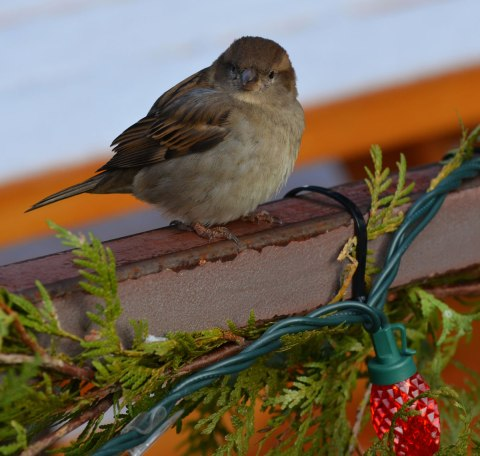 a little sparrow (bird) sits on a railing outside that is decorated with cedar boughs and red Christmas lights.