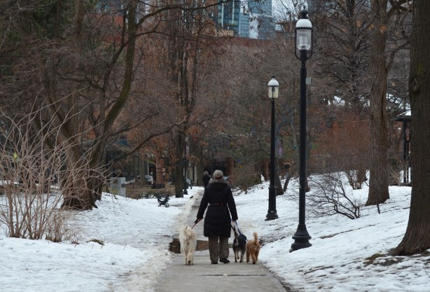 a woman walks three dogs on the path through St. James Park on a winter day, snow, no leaves, some buildings in the distance