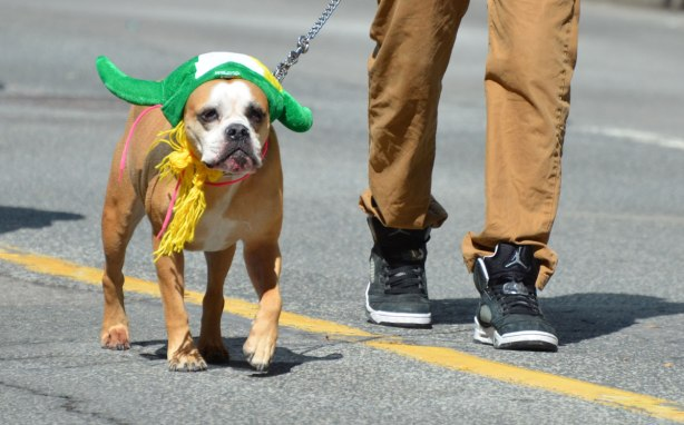 a man is walking a dog in a parade. the dog is wearing a grewen hat for St. Patricks day