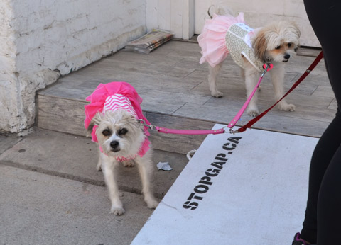 two little white dogs on a leach, both have pink and white frilly dresses on.