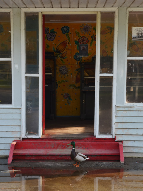 a male mallard duck stands in a puddle of water outside a building with an open door and a red set of stairs.