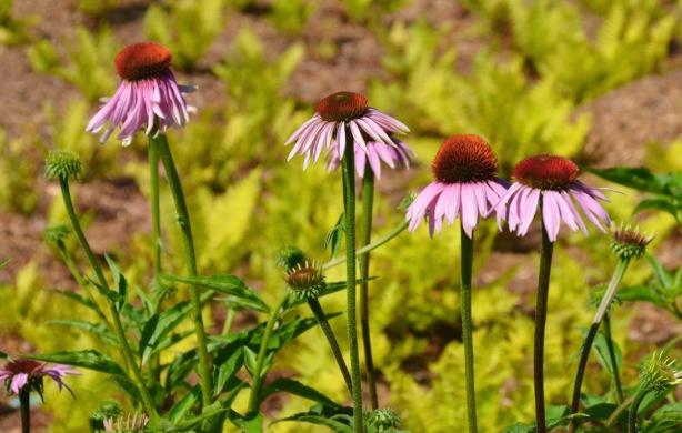 purple cone head flowers