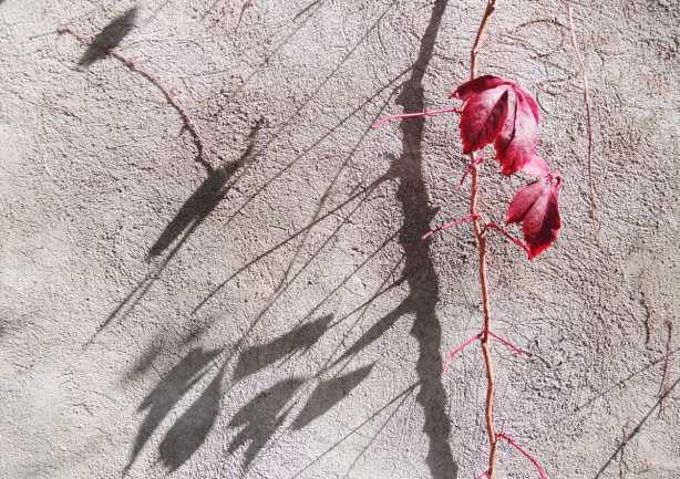 a vine with two red leaves hangs in front of a grey wall, sunny day so there are shadows on the wall fromother plants that aren't in the picture