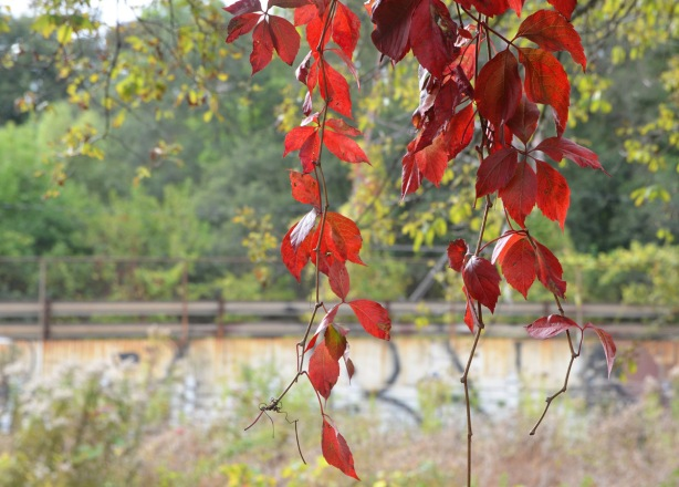 a hanging vine, autumn coloured, in front of the train tracks.