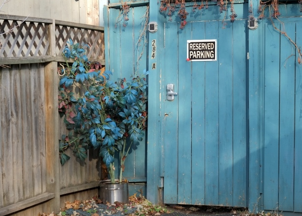 apotted plant, small tree with dark green leaves and teal leaves sits outside beside a teal blue fence and gate