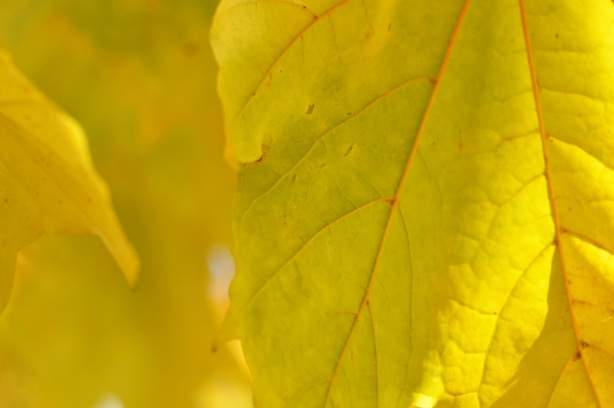 yellowish green leaves hanging on a tree