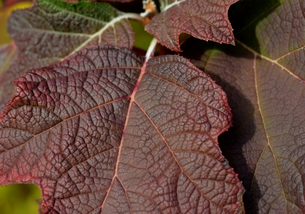 purplish brown leaves, close up picture