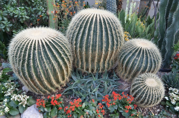 4 barrel cacti of differing sizes in a semi-circle in a conservatory, glass house, with some succulents in front and some taller cacti behind