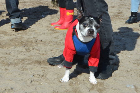 a small black and white dog with a blue neoprene vest and a red coat with 4 legs