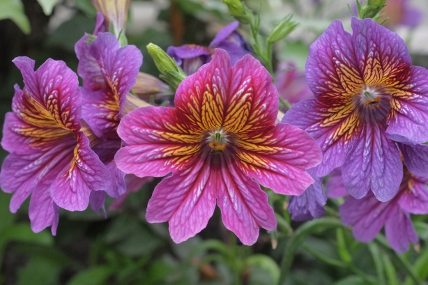 three pink and purple flowers, with orangish centers,