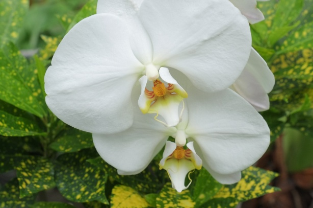 two white orchids in bloom