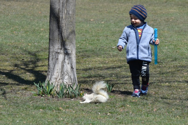 a white albino squirrel is on the ground beside a small tree with daffodils starting to grow up beside, a young boy is walking towards the squirrel