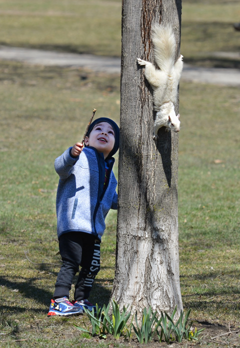 a boy looks up a tree, a white albino squirrel is headed down the other side of the tree trunk