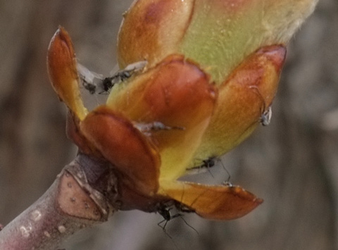 ants in the bud on a tree
