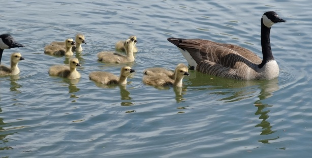 family of Canada geese, 2 adults and 7 or 8 fluffy little goslings swimming in the water