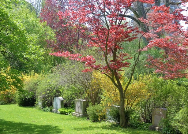 Small red maple (or Japanese maple) tree in the cemtery, also a forsythia bush and other green leafed trees.