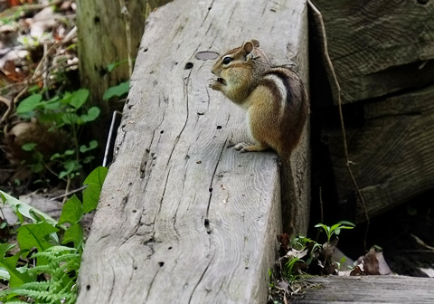 a chipmunk on a wood rail