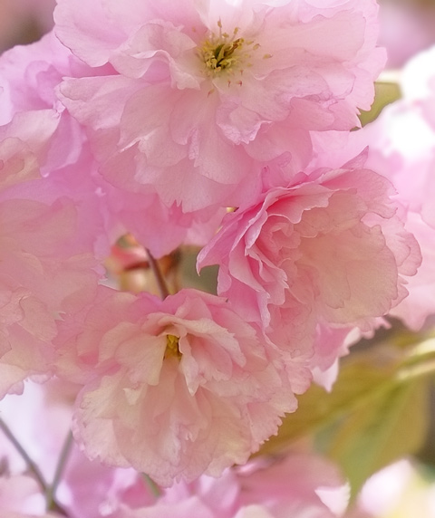 dense cluster of pink and white cherry blossoms