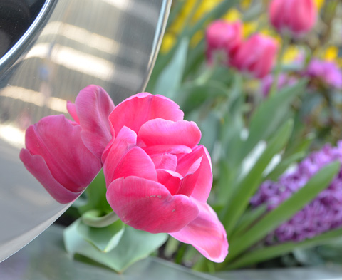 pink tulip growing beside a shiny metal sign, reflected in the sign, other spring flowers in the background.