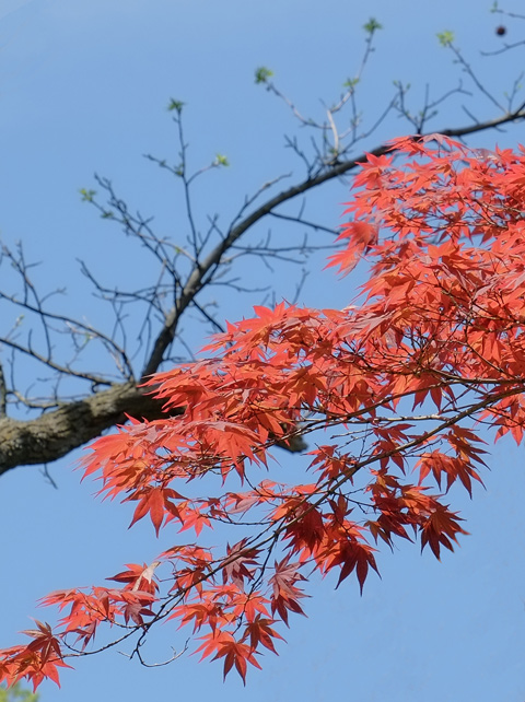 red maple leaves in contrast with the blue sky